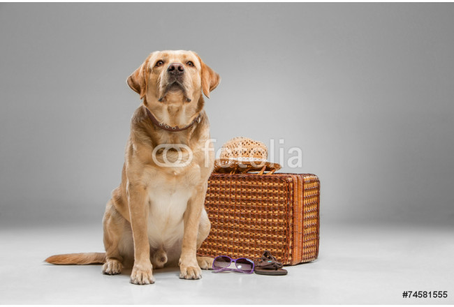 Beautiful labrador with the suitcase 64239
