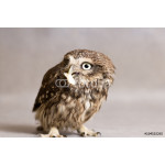 Funny howlet tamed with food in its beak, wild owl 64239