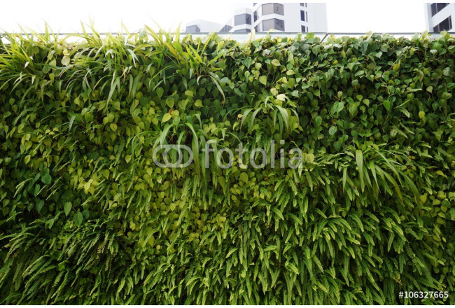 A living green planted wall (vertical garden) in front of buildings in Singapore 64239