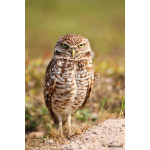 Burrowing Owl standing on the ground 64239