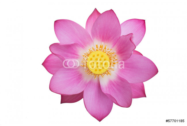 pink lotus isolated white background 64239