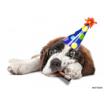 Young Saint Bernard Puppy on White Background 64239