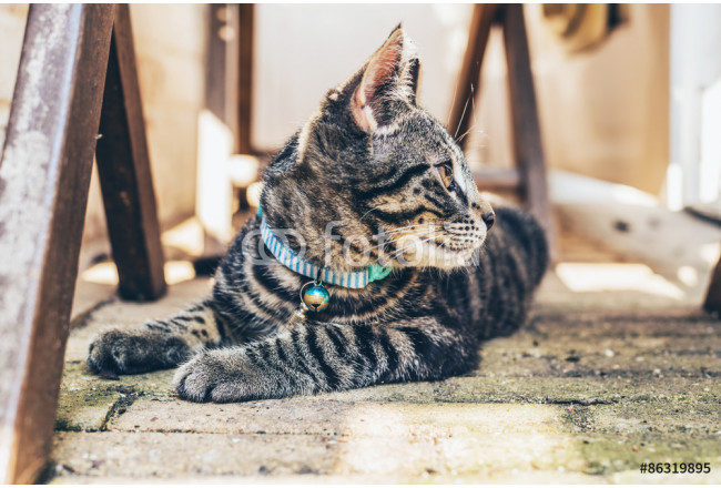 Young tabby cat wearing a blue collar 64239
