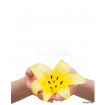 Yellow lily flower held in the hands isolated over white 64239