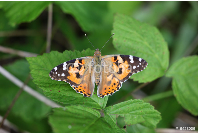 Cynthya cardui - Painted Lady 04 64239