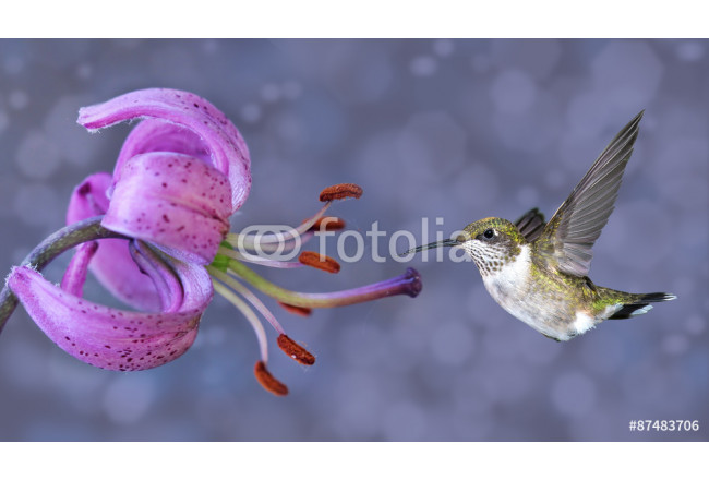 Annas Hummingbird in Flight with Purple Flower 64239