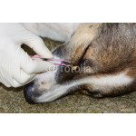 human hands are using  pliers to remove dog adult tick from dog 64239