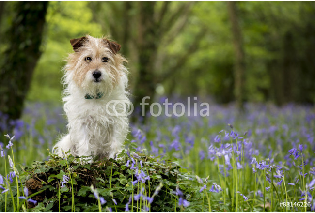 Jack Russell Terrier in the bluebell woods, Cornwall, UK 64239