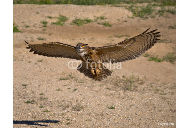 Eurasian Eagle Owl with wings fully spread and beak open rises from glide path low over the ground. 64239