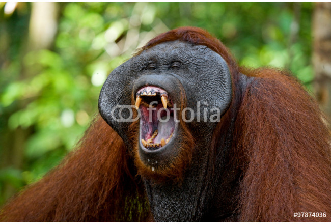Dominant male orangutan yawns. Indonesia. The island of Kalimantan (Borneo). An excellent illustration. 64239