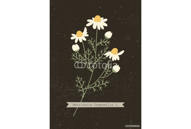 Vector herbarium of chamomile plant with Latin name (Matricaria Chamomilla). Medicinal herb. Wild flowers vector. 64239