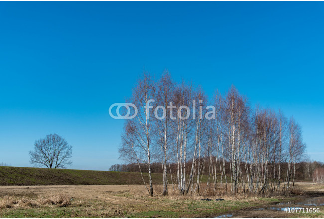 Group of birch-trees 64239