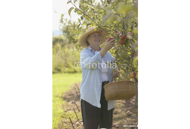 Painting Senior woman picking apples with basket 64239