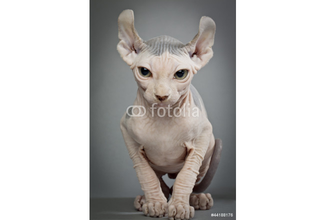 hairless cat with wrinkles 64239