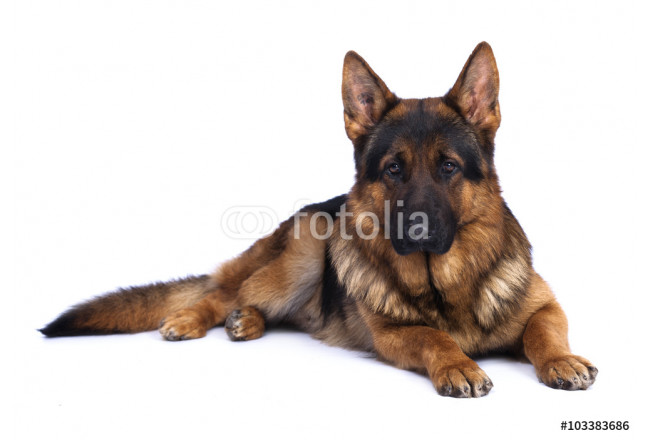 German shepherd on a white background 64239