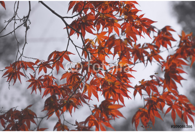 FadeRed japanese maple leaves background 64239