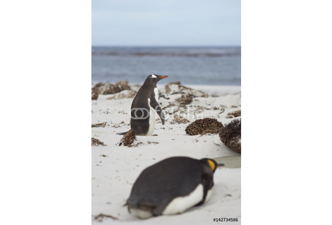 King Penguin (Aptenodytes patagonicus) lying on a sandy beach on Sealion Island in the Falkland Islands. Gentoo Penguin (Pygoscelis papua) passing in the background. 64239