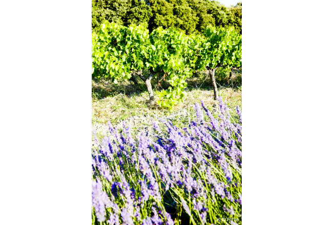 lavender field with vineyard, Drome, Rhone-Alpes, France 64239