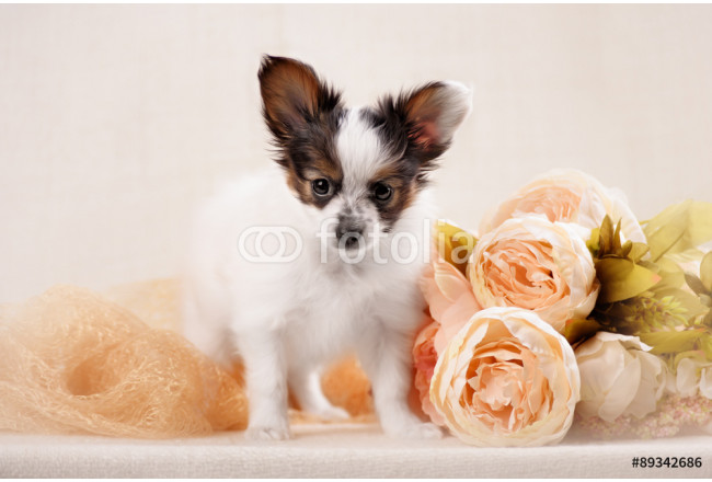 Papillon,  ButterflyDog, SquirrelDog in front of a white background 64239