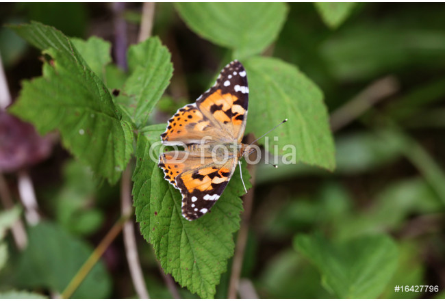 Cynthya cardui - Painted Lady 06 64239