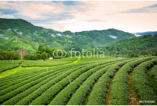 Natural landscape of tea planation on the moutain in Chaingrai p 64239