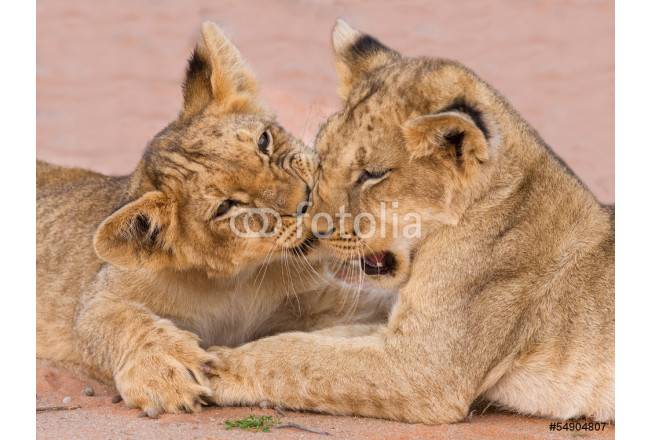 Two cute lion cubs playing on sand in the Kalahari 64239