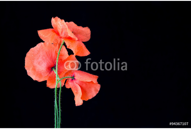 red poppies isolated on black 64239