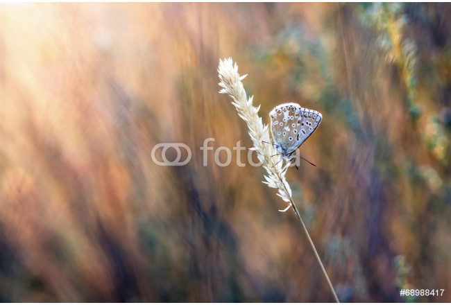 natural background blues butterfly in the grass 64239