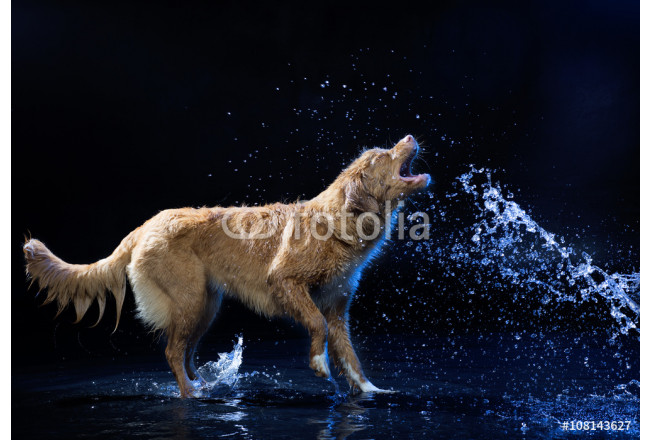 Nova Scotia duck tolling Retriever on a black background 64239