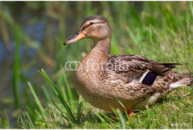 Painting A female wild duck 64239