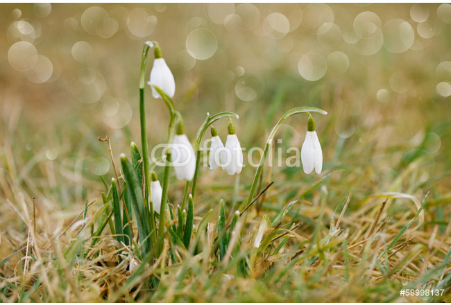 snowdrop flower soft focus, perfect for postcard 64239