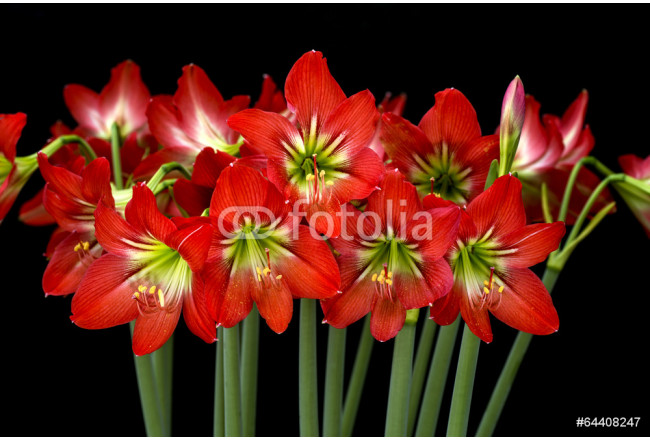 Painting Hippeastrum isolated on black background. 64239