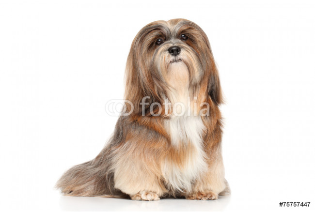 Lhasa Apso on a white background 64239