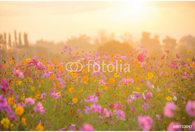 cosmos flower field in the morning 64239