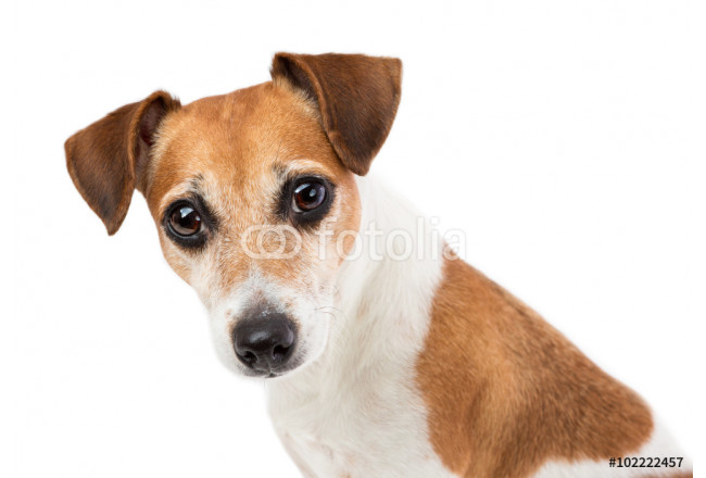 Closeup Portrait of a beautiful dog Jack Russell terrier with an attentive expressive look mesmerizing looking at the camera 64239