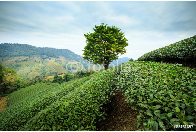 Toile déco Green tea farm with blue sky background 64239