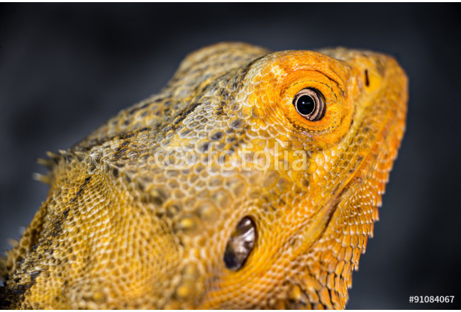 The look/ bearded dragon looking back  64239