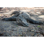 Komodo Dragon at Rest on Trail in National Park 64239