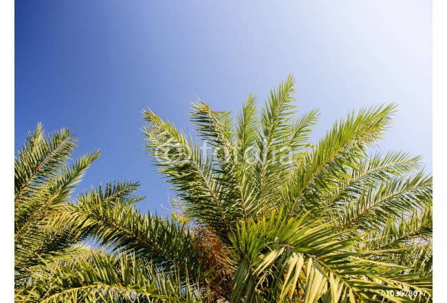 palm tree isolated on blue   background 64239