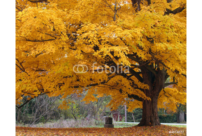 Painting Beautiful Fall Color Tree 64239