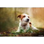 Dog breed Jack Russell Terrier walks on nature 64239
