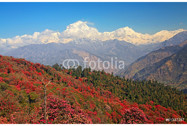 Cuadro decorativo Dhaulagiri peak (8167 m) with spring rhododendron forest. 64239
