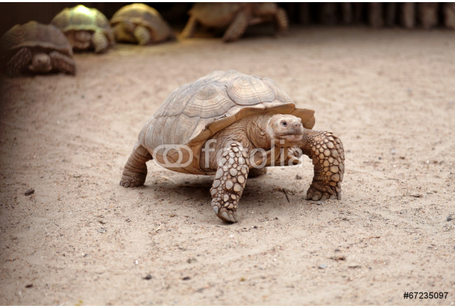 Centrochelys sulcata, Tortue sillonnée, African Spurred Tortoise 64239