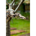 Close up of Columbia boa constrictor. 64239