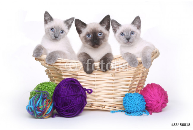 Siamese Kittens on White Background With Yarn 64239