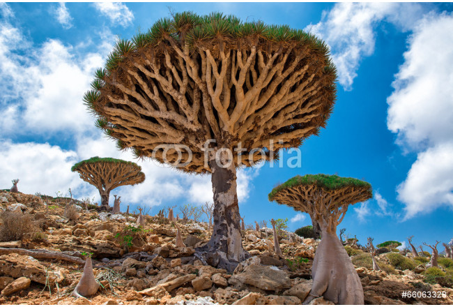 Socotra Homhil dragon tree 64239
