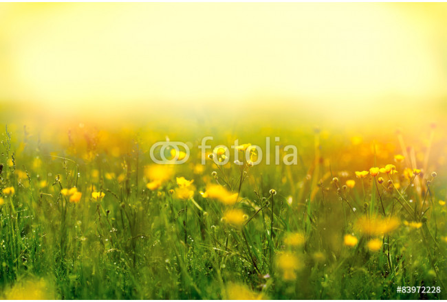 Fog in a meadow full of yellow flowers 64239