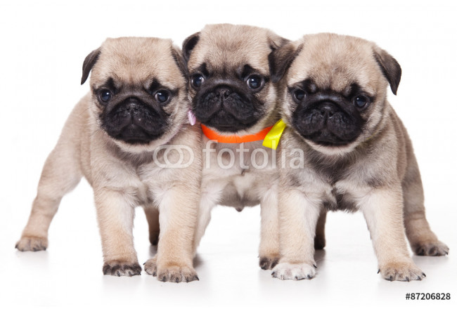 Three pug puppy standing and looking at the camera (isolated on white) 64239