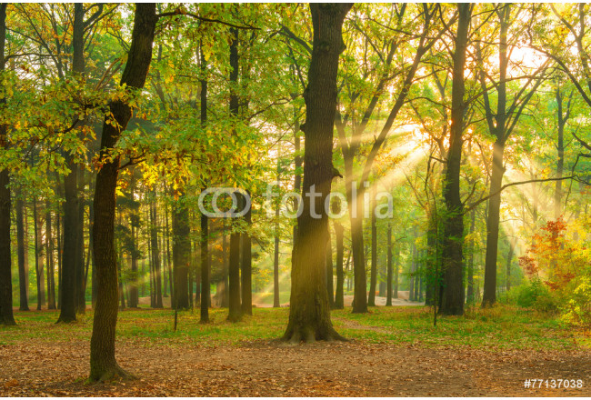 bright rays of the sun in the morning empty forest 64239