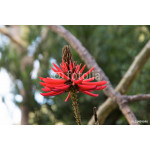 Eritrina, coral tree covered with red flowers 64239